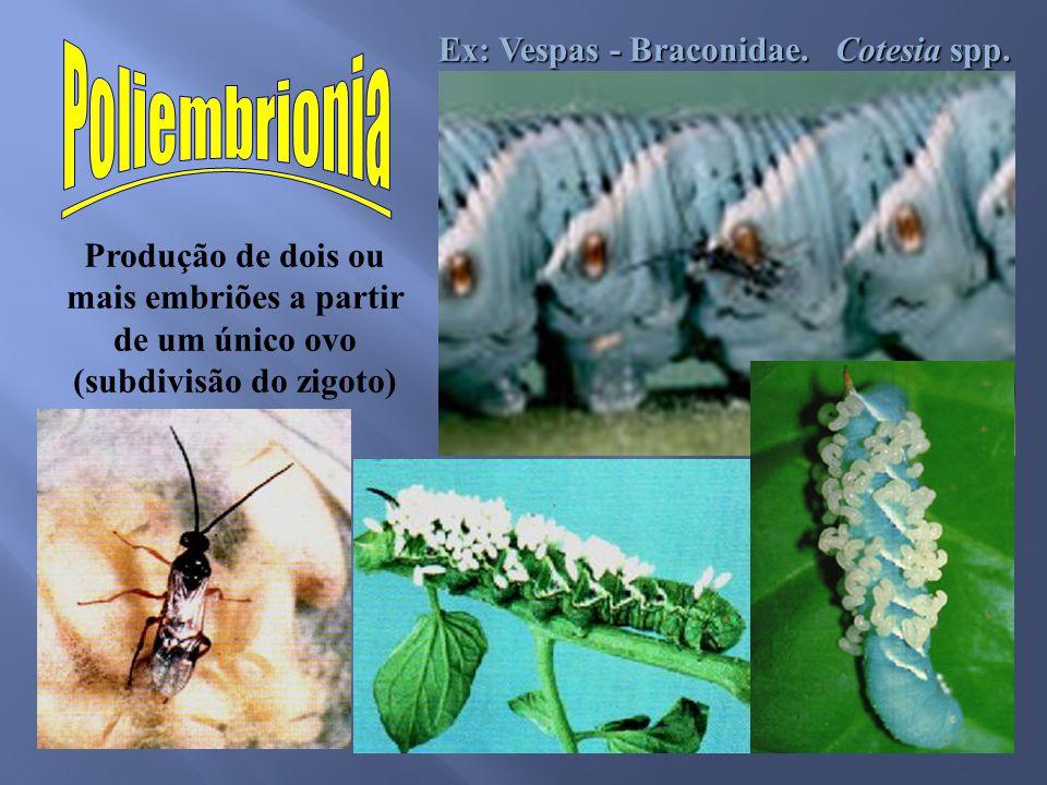 Poliembrionia Ex: Vespas - Braconidae. Cotesia spp.