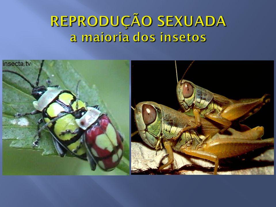 REPRODUÇÃO SEXUADA a maioria dos insetos
