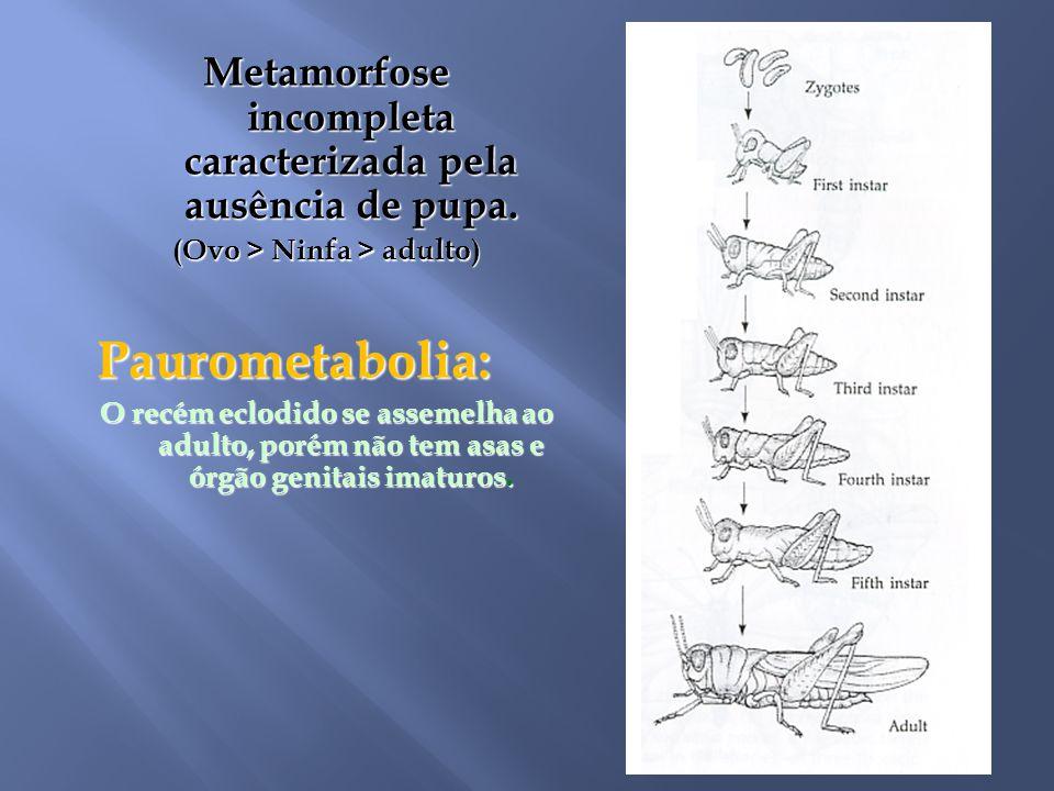 Metamorfose incompleta caracterizada pela ausência de pupa.