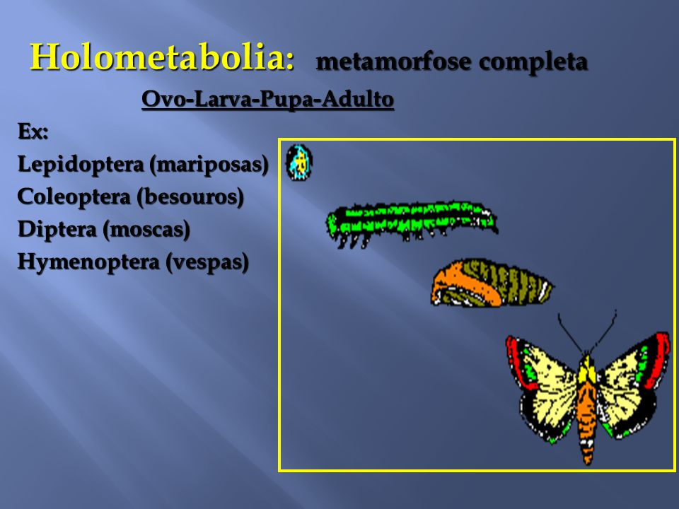 Holometabolia: metamorfose completa
