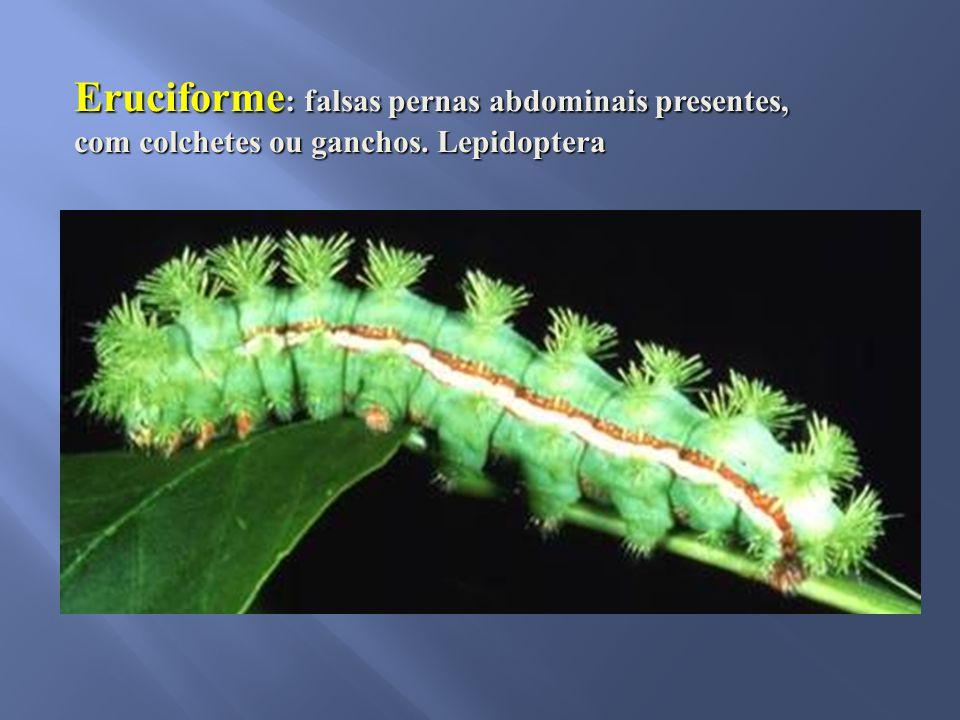 Eruciforme: falsas pernas abdominais presentes, com colchetes ou ganchos. Lepidoptera