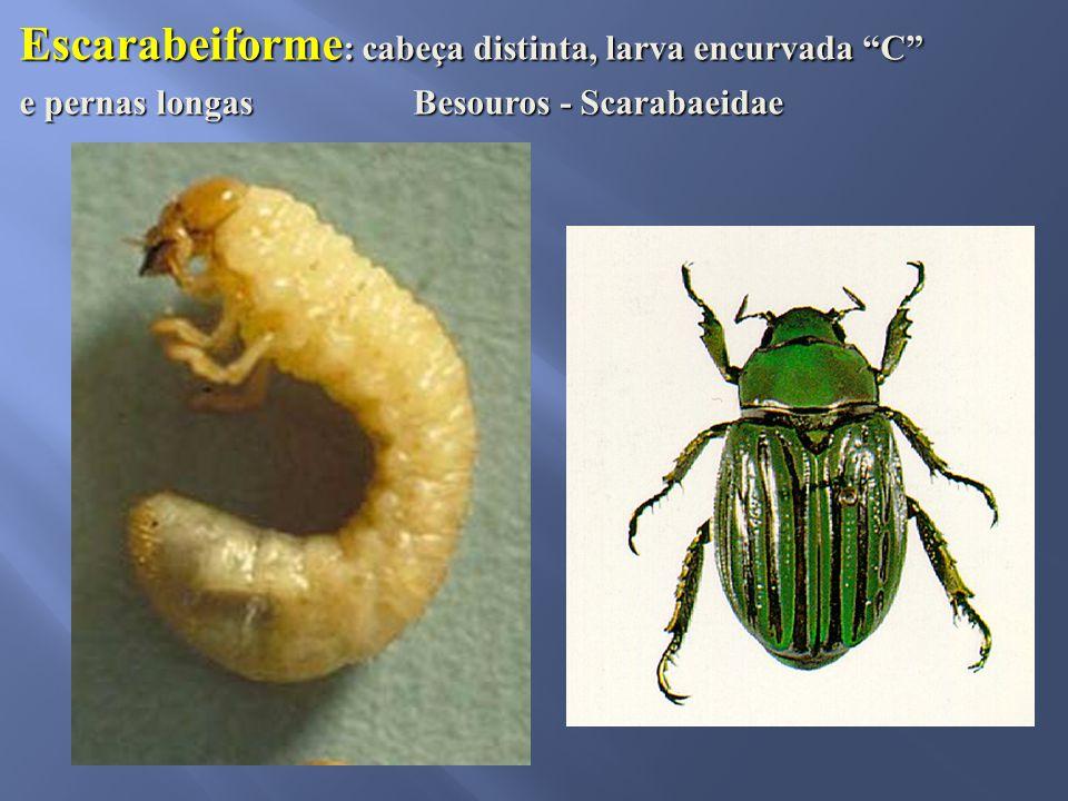 Escarabeiforme: cabeça distinta, larva encurvada C
