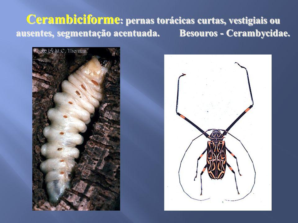 Cerambiciforme: pernas torácicas curtas, vestigiais ou ausentes, segmentação acentuada.