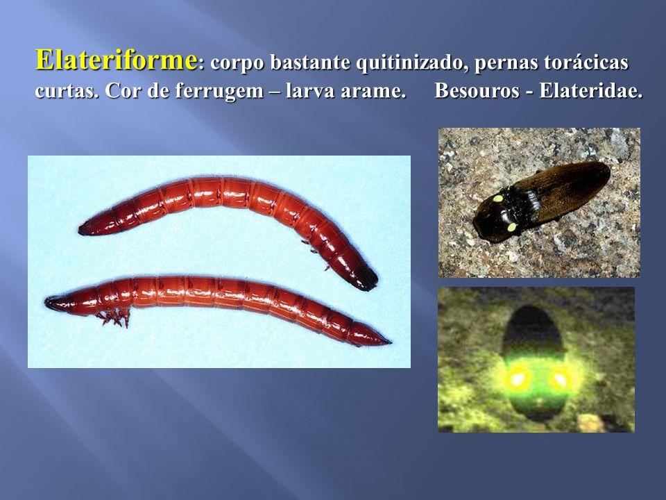 Elateriforme: corpo bastante quitinizado, pernas torácicas curtas
