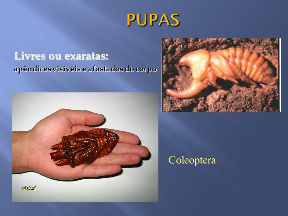 PUPAS Livres ou exaratas: Coleoptera