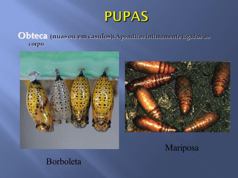 PUPAS Obteca (nuas ou em casulos): Apêndices intimamente ligados ao corpo Mariposa Borboleta