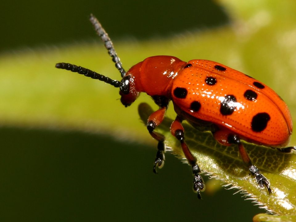 PUPAS Coarctata: pupa dentro da última exúvia larval, nenhum apêndice do futuro inseto é visível.