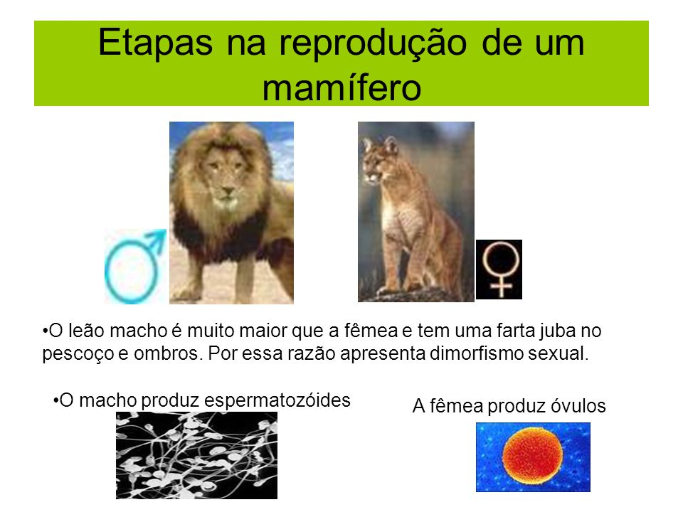 Etapas na reprodução de um mamífero