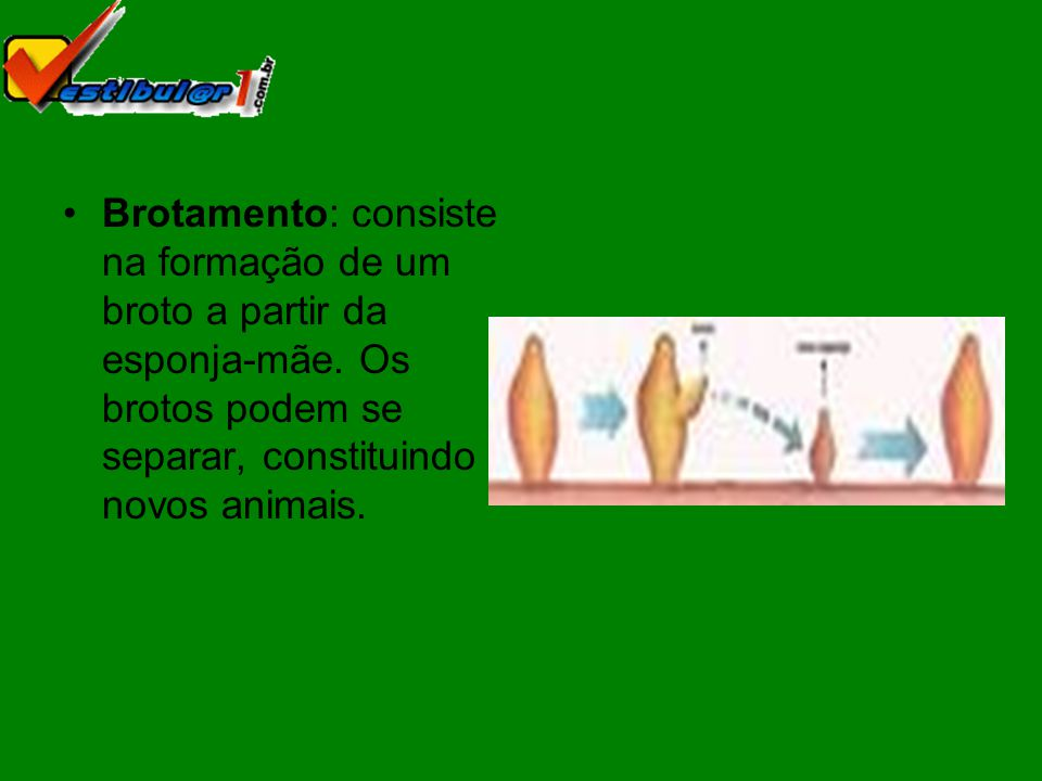 Brotamento: consiste na formação de um broto a partir da esponja-mãe