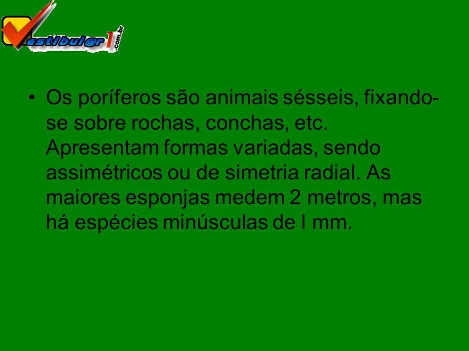 Os poríferos são animais sésseis, fixando-se sobre rochas, conchas, etc.