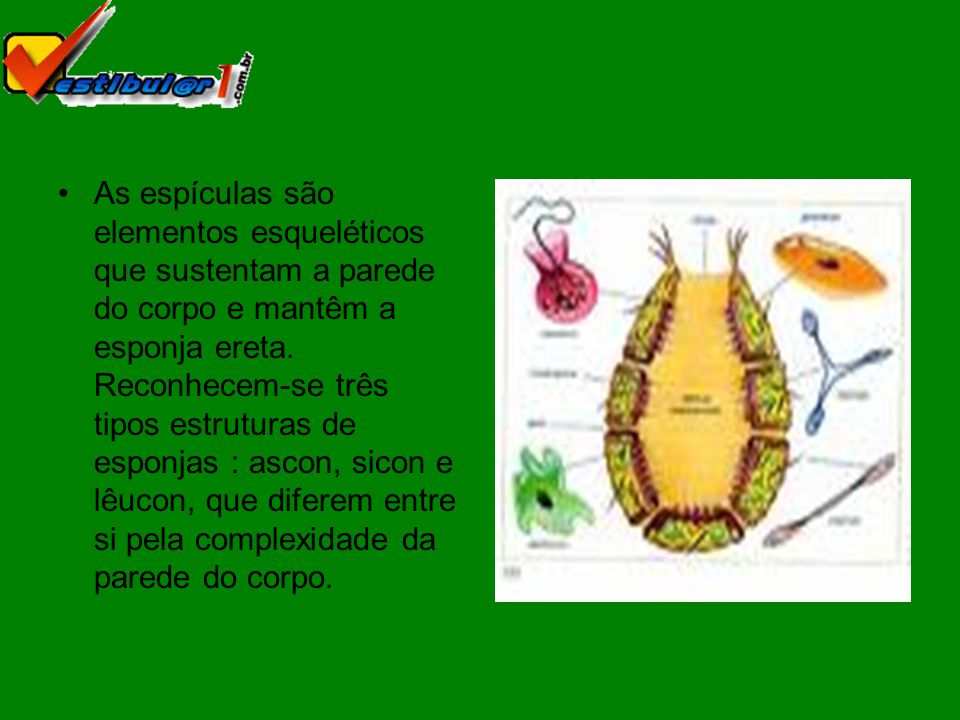 As espículas são elementos esqueléticos que sustentam a parede do corpo e mantêm a esponja ereta.
