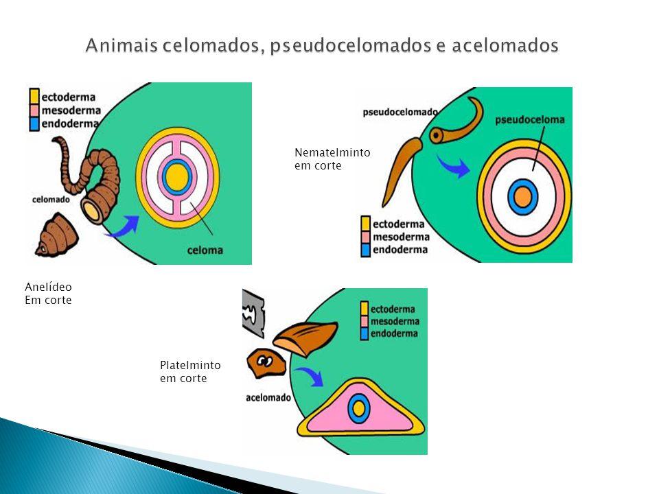 Animais celomados, pseudocelomados e acelomados