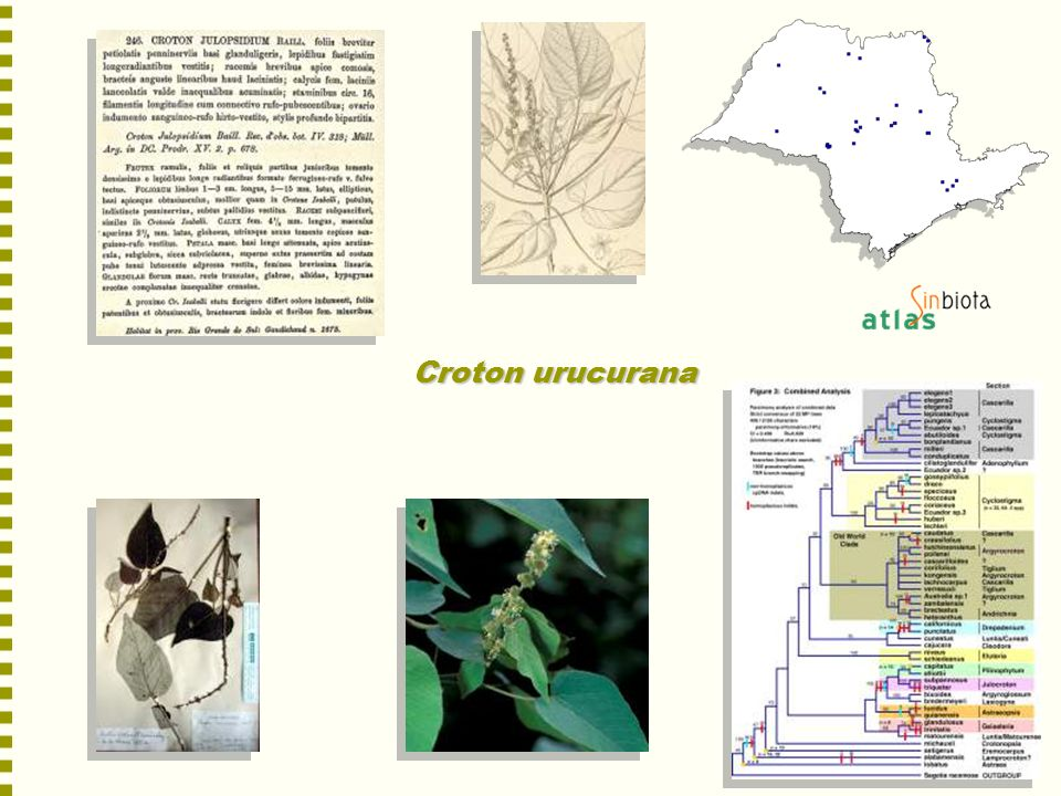 Croton urucurana
