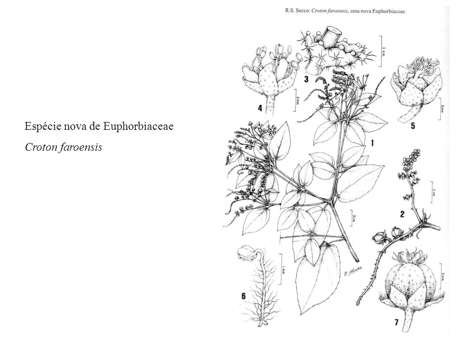 Espécie nova de Euphorbiaceae