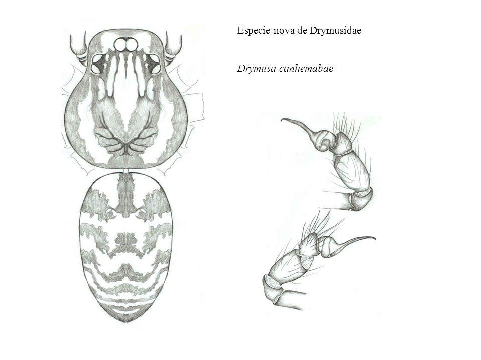 Especie nova de Drymusidae