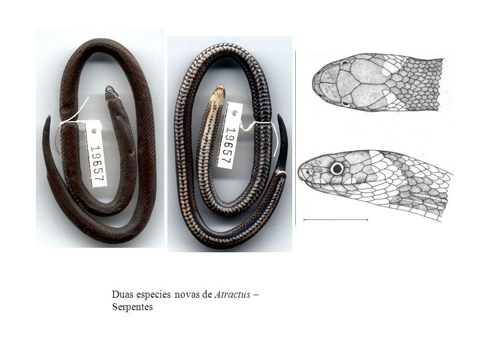 Duas especies novas de Atractus – Serpentes