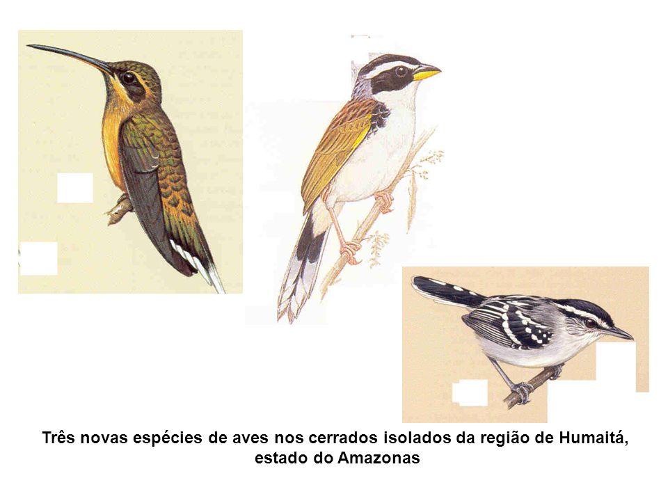 Três novas espécies de aves nos cerrados isolados da região de Humaitá,