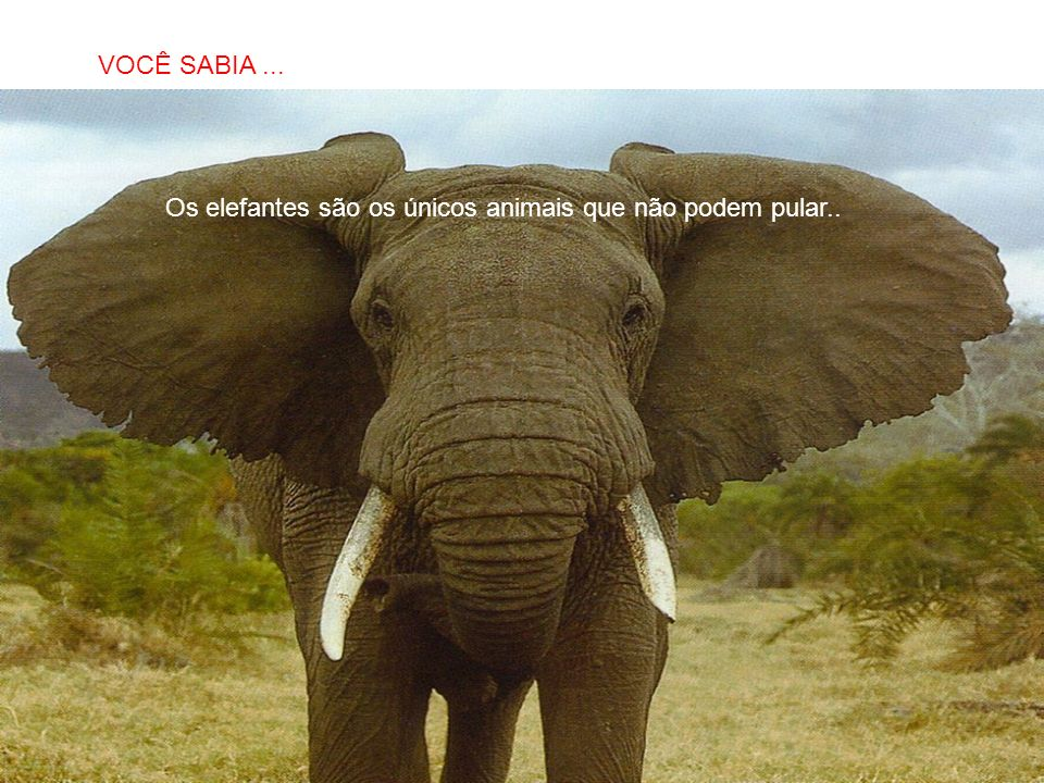 Os elefantes são os únicos animais que não podem pular..