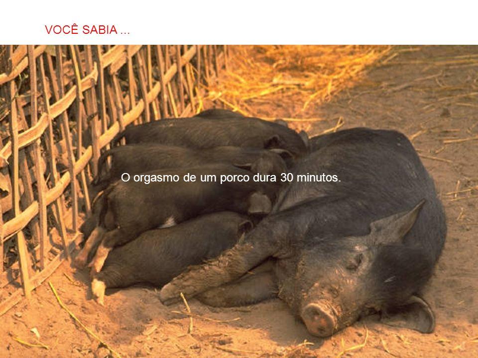 O orgasmo de um porco dura 30 minutos.