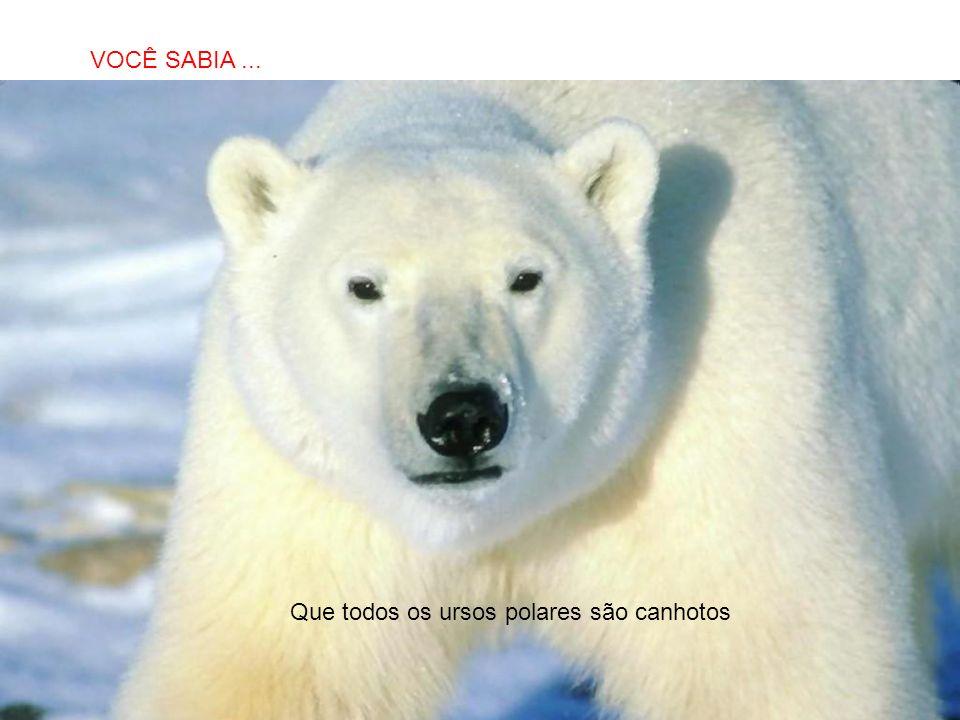 VOCÊ SABIA ... Que todos os ursos polares são canhotos