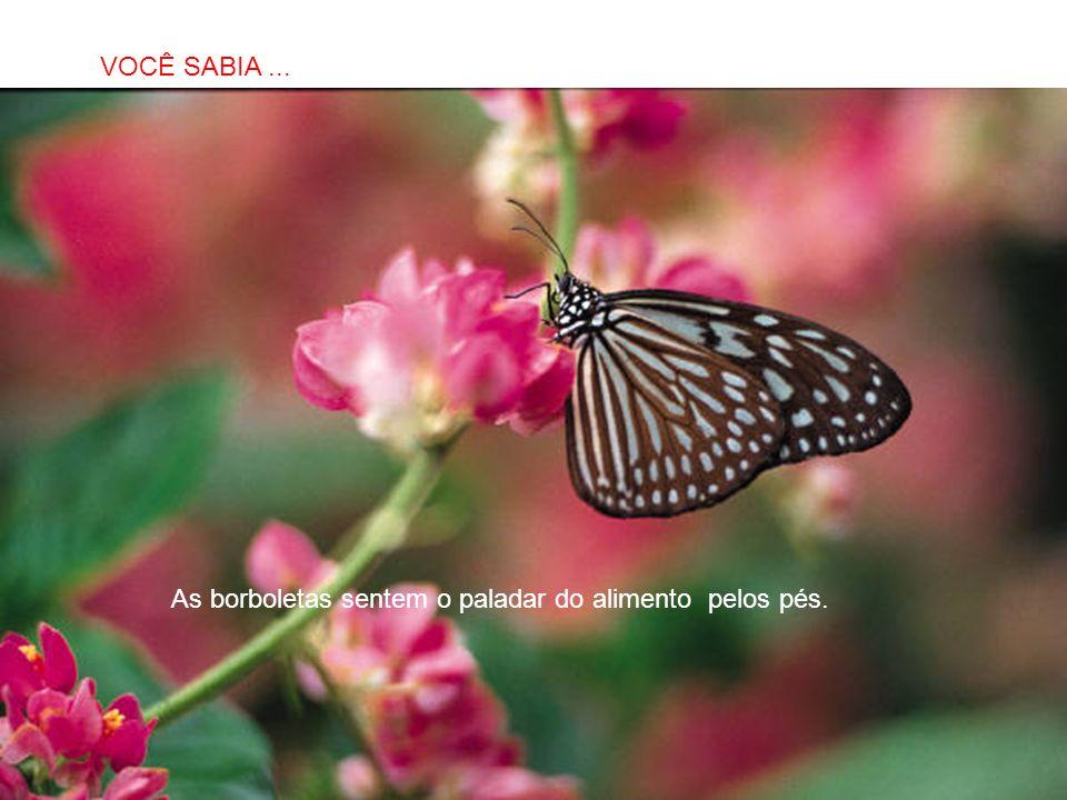 VOCÊ SABIA ... As borboletas sentem o paladar do alimento pelos pés.