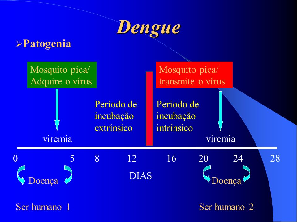 Dengue Patogenia Mosquito pica/ Adquire o vírus