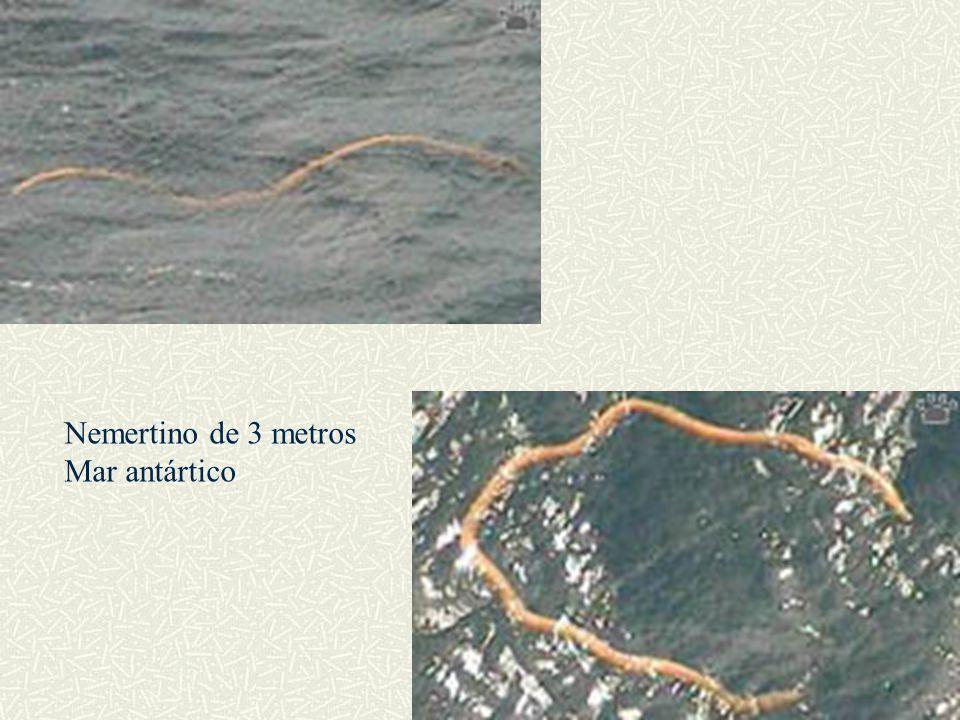 Nemertino de 3 metros Mar antártico