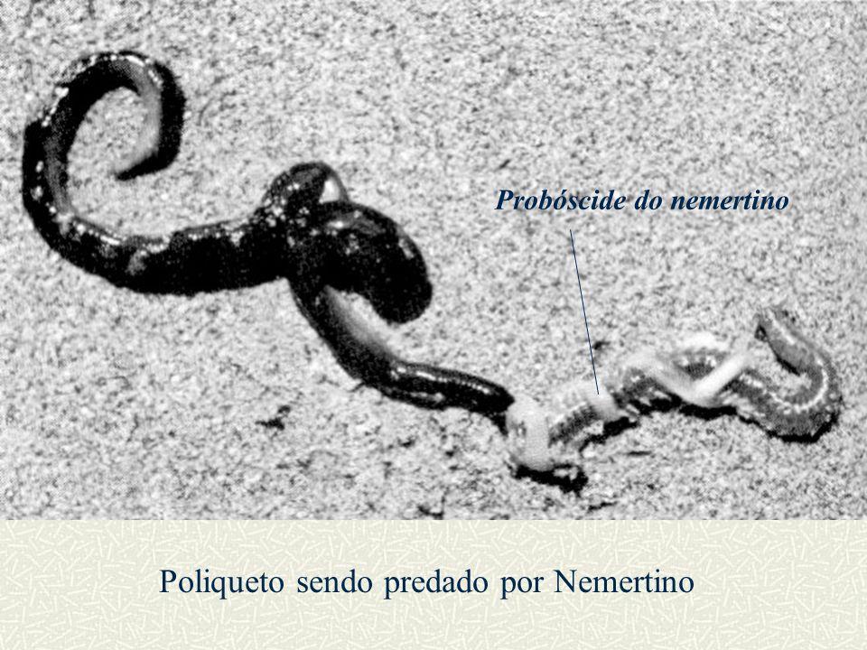 Poliqueto sendo predado por Nemertino