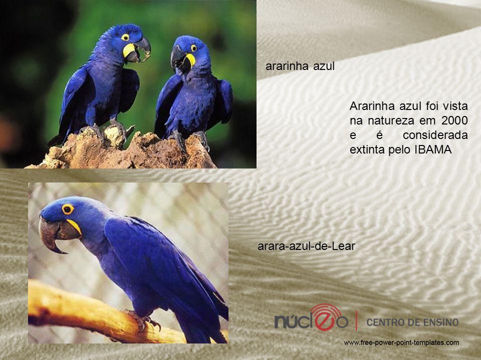 ararinha azul Ararinha azul foi vista na natureza em 2000 e é considerada extinta pelo IBAMA.