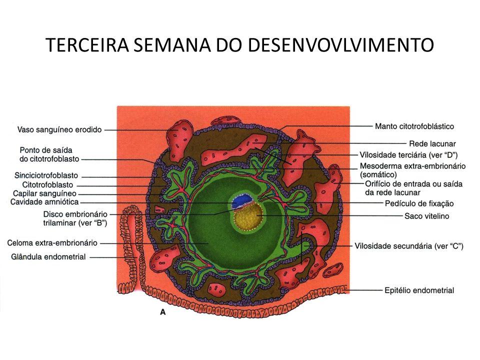 TERCEIRA SEMANA DO DESENVOVLVIMENTO