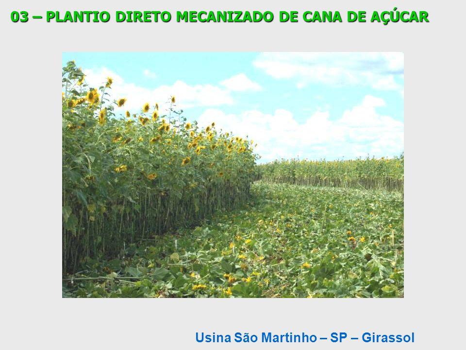 Usina São Martinho – SP – Girassol