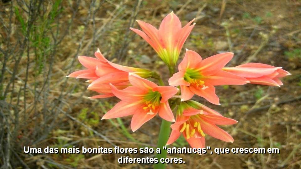 Uma das mais bonitas flores são a añañucas , que crescem em diferentes cores.