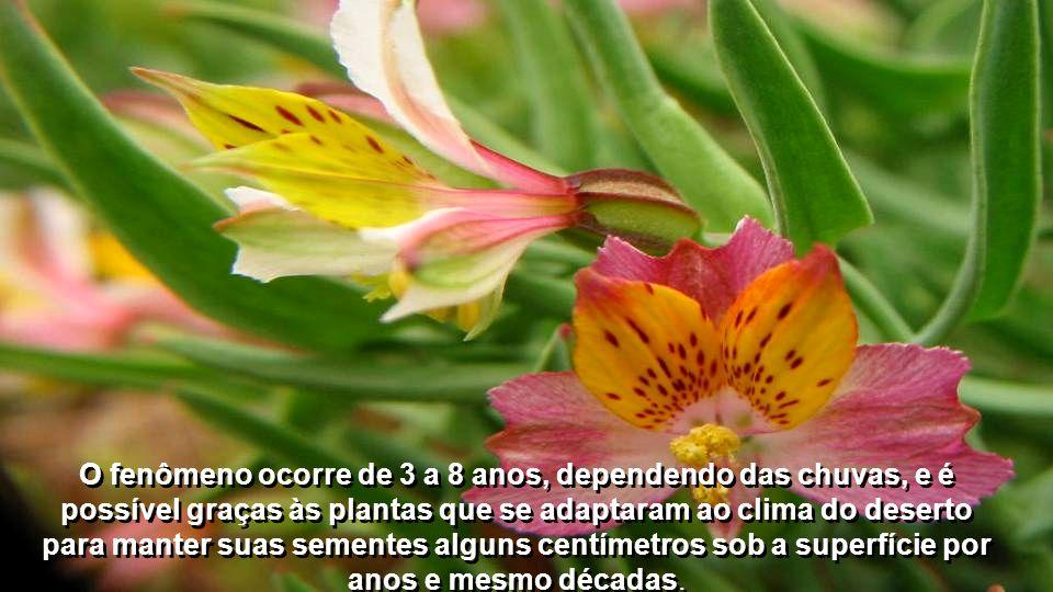O fenômeno ocorre de 3 a 8 anos, dependendo das chuvas, e é possível graças às plantas que se adaptaram ao clima do deserto para manter suas sementes alguns centímetros sob a superfície por anos e mesmo décadas.