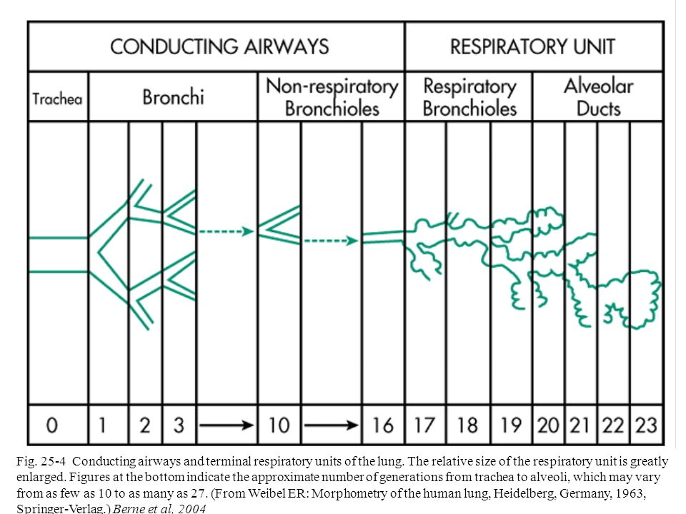 Fig. 25-4 Conducting airways and terminal respiratory units of the lung.