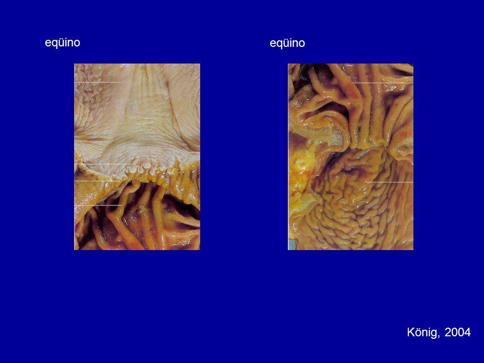 eqüino eqüino König, 2004