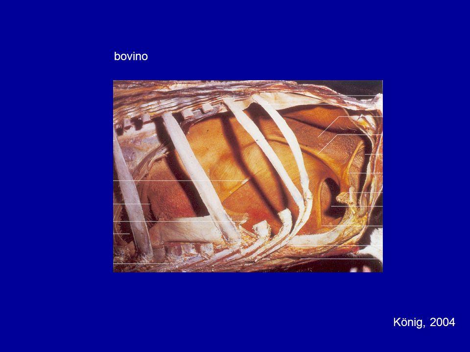 bovino König, 2004