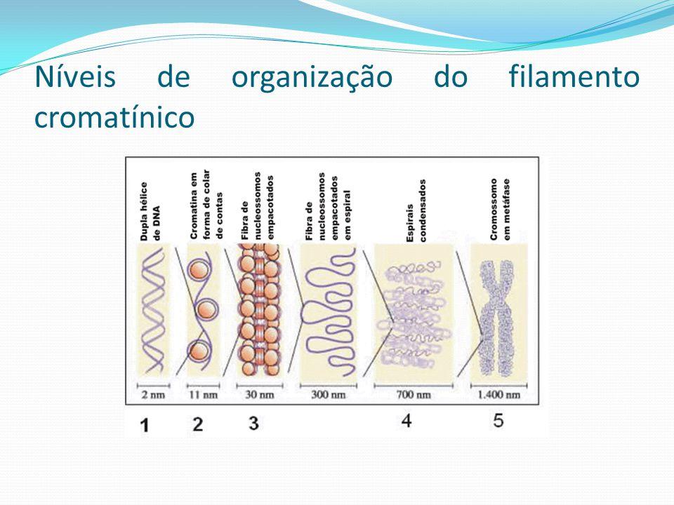 Níveis de organização do filamento cromatínico