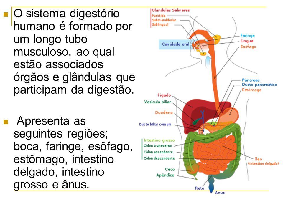 O sistema digestório humano é formado por um longo tubo musculoso, ao qual estão associados órgãos e glândulas que participam da digestão.