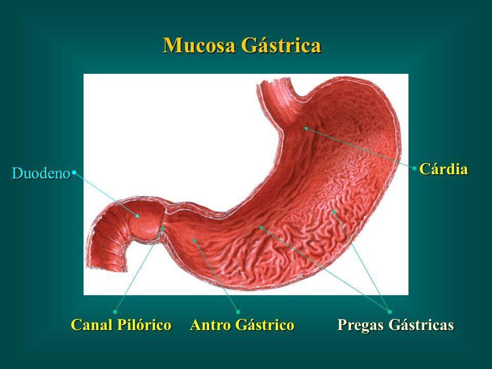 Mucosa Gástrica Cárdia Duodeno Canal Pilórico Antro Gástrico