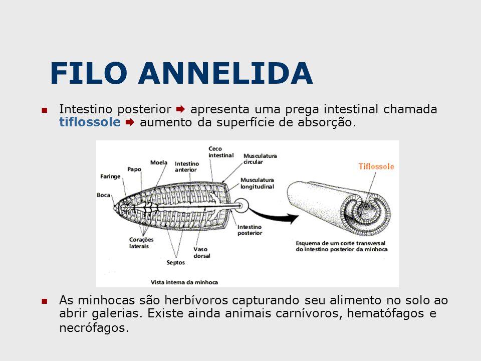 FILO ANNELIDA Intestino posterior  apresenta uma prega intestinal chamada tiflossole  aumento da superfície de absorção.