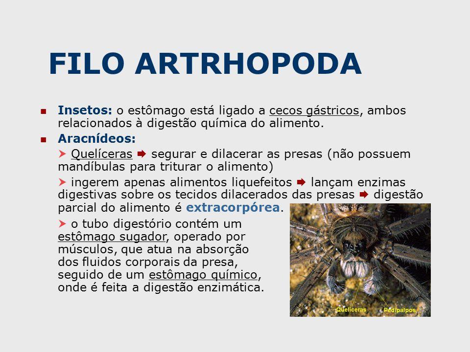 FILO ARTRHOPODA Insetos: o estômago está ligado a cecos gástricos, ambos relacionados à digestão química do alimento.