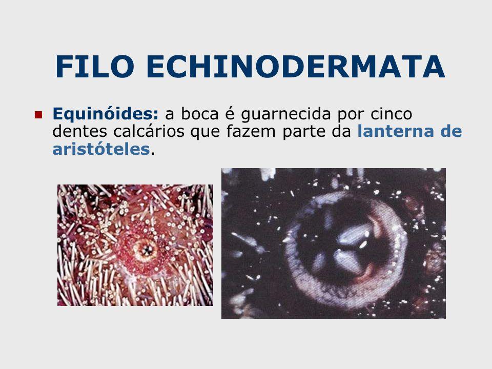 FILO ECHINODERMATA Equinóides: a boca é guarnecida por cinco dentes calcários que fazem parte da lanterna de aristóteles.