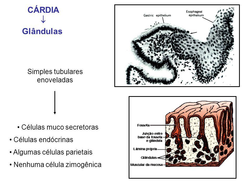 CÁRDIA  Glândulas Simples tubulares enoveladas