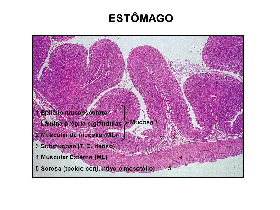 ESTÔMAGO 1 Epitélio mucossecretor Lâmina própria c/glândulas