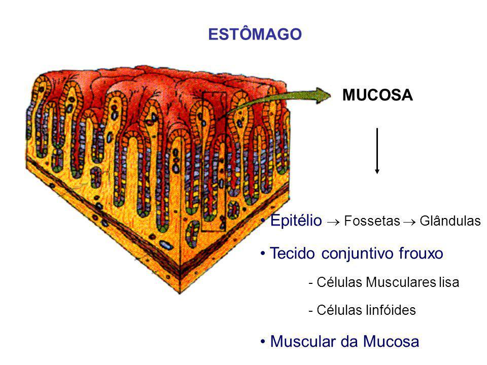 MUCOSA ESTÔMAGO Epitélio  Fossetas  Glândulas