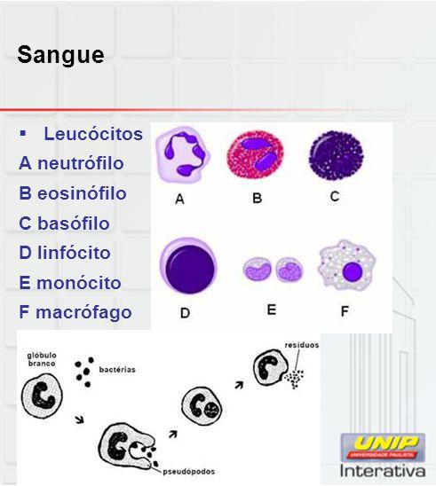 Sangue Leucócitos A neutrófilo B eosinófilo C basófilo D linfócito