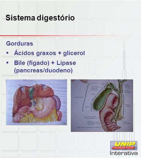 Sistema digestório Gorduras Ácidos graxos + glicerol