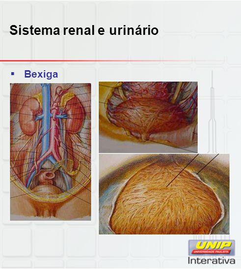 Sistema renal e urinário