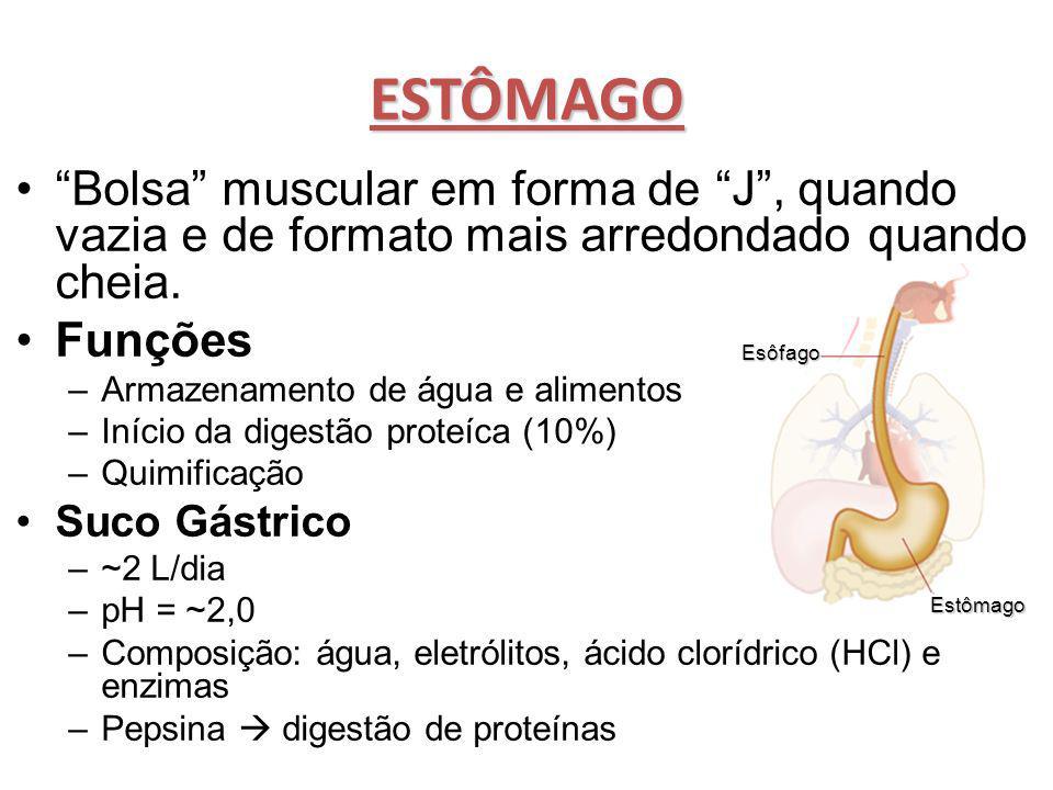 ESTÔMAGO Bolsa muscular em forma de J , quando vazia e de formato mais arredondado quando cheia.