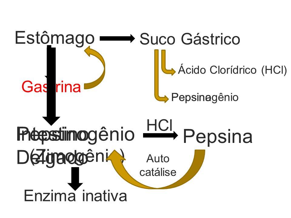 Intestino Delgado Pepsinogênio Pepsina Estômago (Zimogênio)